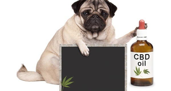 lovely-cute-pug-puppy-dog-sitting-down-with-bottle-of-CBD-oil-and-blackboard-sign-isolated-on-white-background